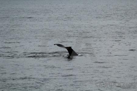 Antarctica cruise whale day 6 animal adelaide island.