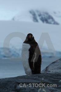 Antarctica cruise wiencke island animal south pole mountain.