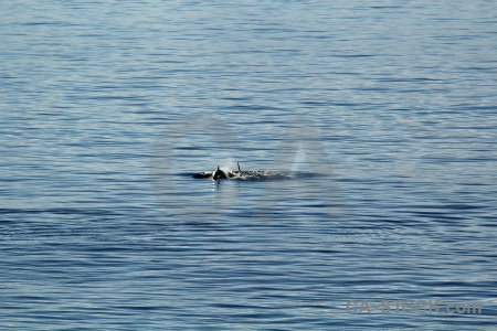 Antarctica day 6 sea orca antarctic peninsula.