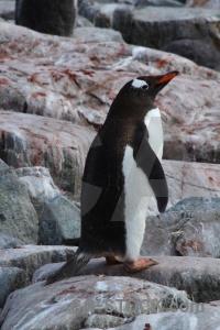 Antarctica petermann island chick cruise wilhelm archipelago.