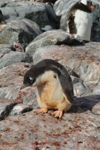Antarctica rock gentoo antarctic peninsula south pole.