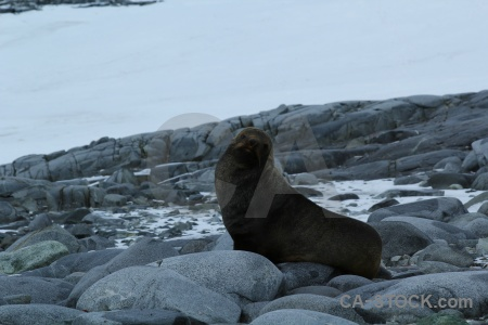 Antarctica south pole antarctic peninsula rock seal.