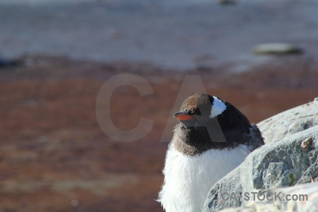 Antarctica south pole rock gentoo wilhelm archipelago.