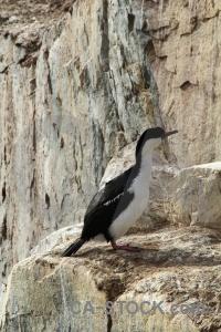 Antarctica south pole wilhelm archipelago petermann island bird.