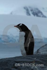 Antarctica wiencke island animal gentoo antarctic peninsula.