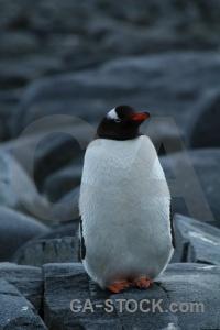 Antarctica wiencke island palmer archipelago day 10 antarctic peninsula.