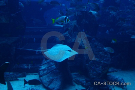 Aquarium stingray dubai cyan western asia.
