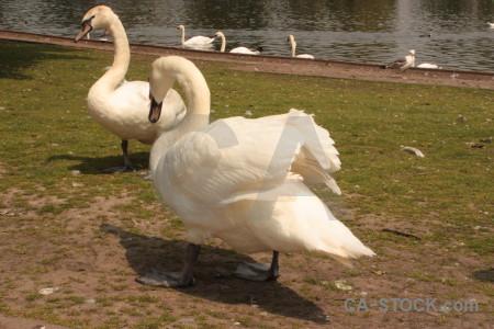 Aquatic animal bird brown swan.