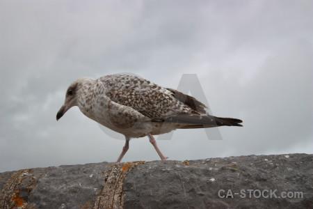 Aquatic animal gray bird.