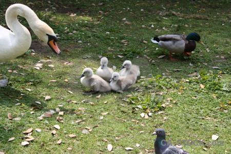 Aquatic animal swan bird chick.