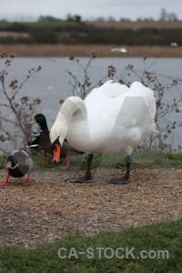 Aquatic animal water pond bird.