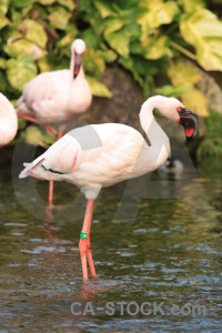 Aquatic bird animal flamingo pond.