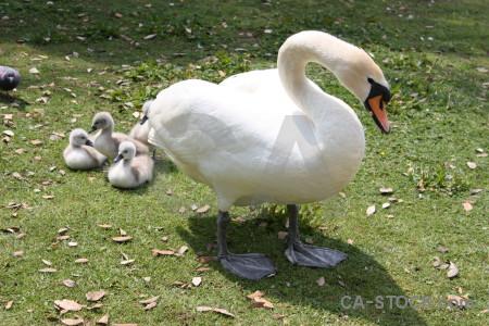Aquatic bird chick animal swan.