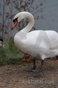 Aquatic bird water pond swan.