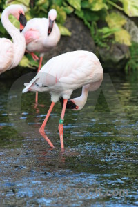 Aquatic flamingo bird pond water.