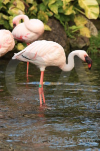 Aquatic pond animal bird flamingo.