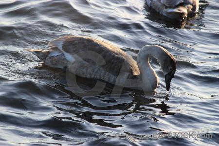 Aquatic pond bird water animal.