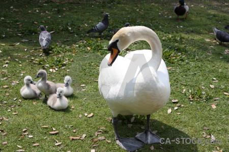 Aquatic swan animal chick bird.