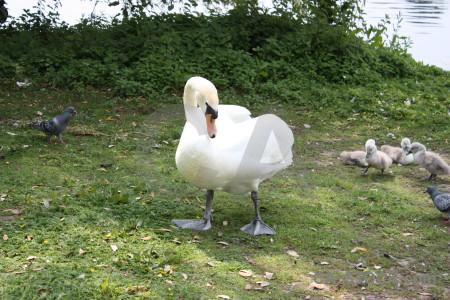 Aquatic swan animal green bird.