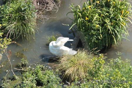 Aquatic swan animal pond bird.