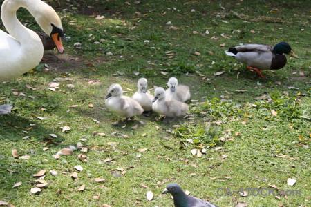 Aquatic swan bird animal chick.