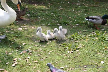 Aquatic swan bird chick animal.