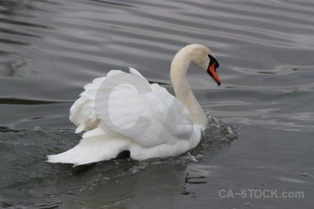 Aquatic swan water animal bird.