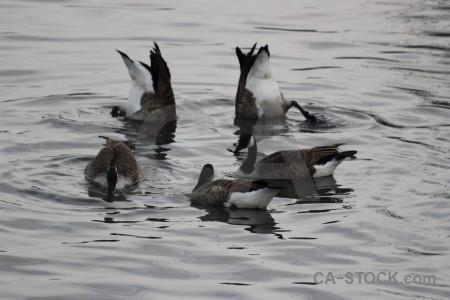 Aquatic water bird pond animal.