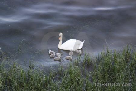 Aquatic water pond bird animal.