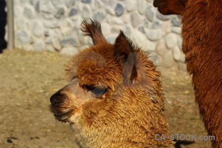 Arequipa alpaca south america peru.