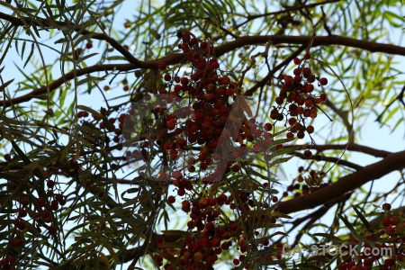 Arequipa food peru berry branch.