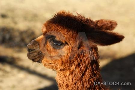 Arequipa peru alpaca south america.