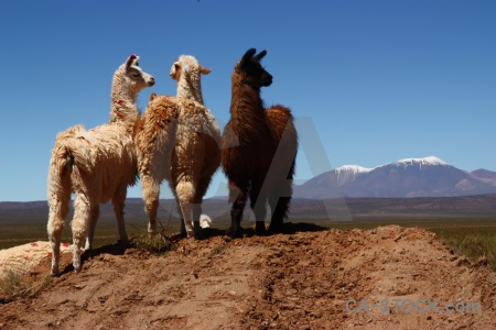 Argentina animal andes snow sky.