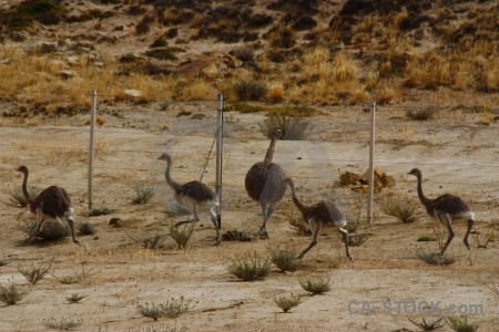 Argentina emu patagonia rhea fence.