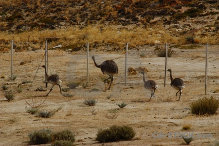 Argentina fence patagonia ostrich animal.