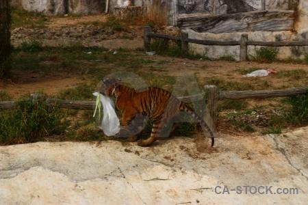 Asia animal wat pa luang ta bua yansampanno tiger southeast.