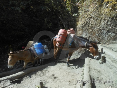 Asia mule nepal himalayan annapurna sanctuary trek.