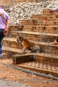 Asia wat pa luangta maha bua yannasampanno person step tiger.