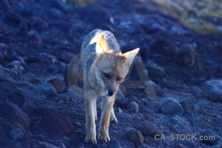 Atacama desert culpeo chile south america fox.