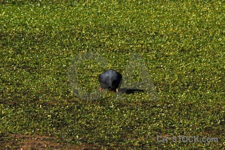 Atacama desert pond weed altitude bird andes.