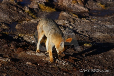 Atacama desert south america chile fox andes.