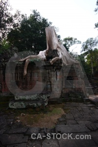 Banyan tree fungus carving ruin preah khan.