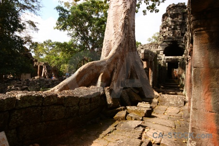 Banyan tree ruin khmer unesco root.