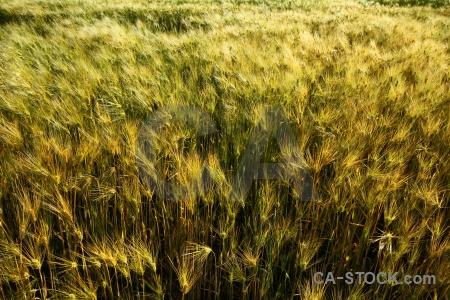 Barley yanque south america peru plant.
