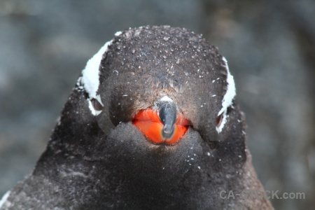 Beak south pole palmer archipelago head day 10.
