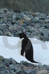 Bellingshausen sea penguin antarctic peninsula stone antarctica cruise.