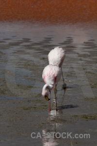 Bird andes water bolivia altitude.