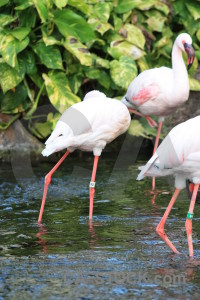 Bird animal aquatic pond flamingo.