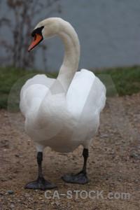 Bird animal aquatic pond swan.
