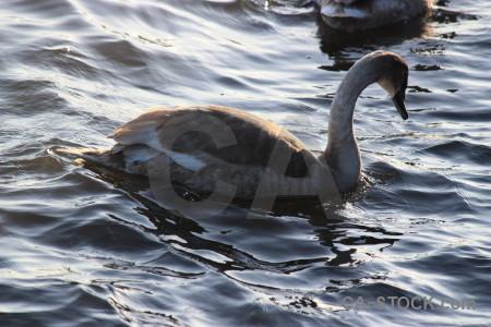 Bird animal aquatic water pond.
